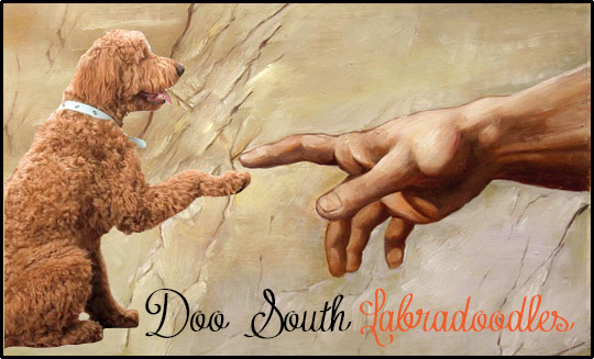 Labradoodle Breeder South Carolina